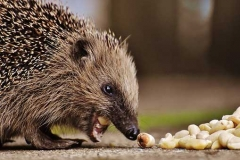 hedgehog-photo4