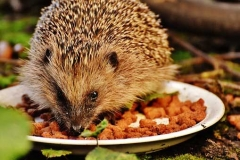 hedgehog-photo5