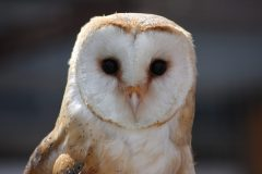 Willow-barnowl