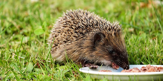 hedgehog-eating